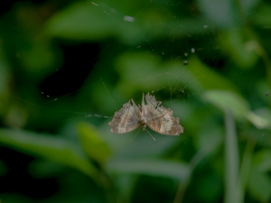 butterfly caught in a web in akonko